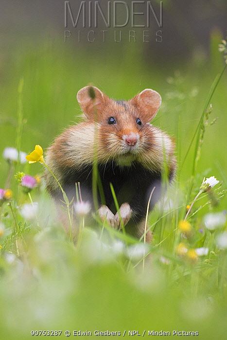 European hamster (Cricetus cricetus) in grass with cheek pouches full, Vienna, Austria.