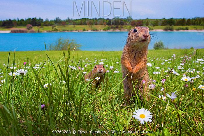 European ground squirrels / Sousliks (Spermophilus citellus) in grass with daisies, Gerasdorf, Austria. April.
