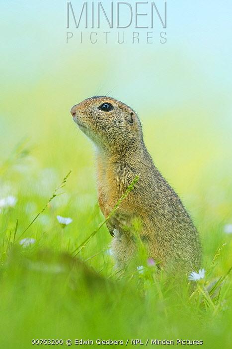 European ground squirrel / Souslik (Spermophilus citellus) in grass with daisies, Gerasdorf, Austria. April.
