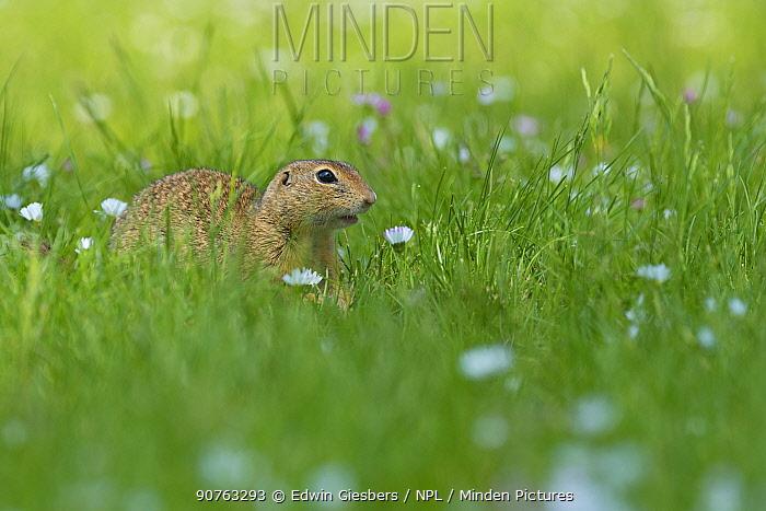European ground squirrel / Souslik (Spermophilus citellus) in daisies, Gerasdorf, Austria. April.