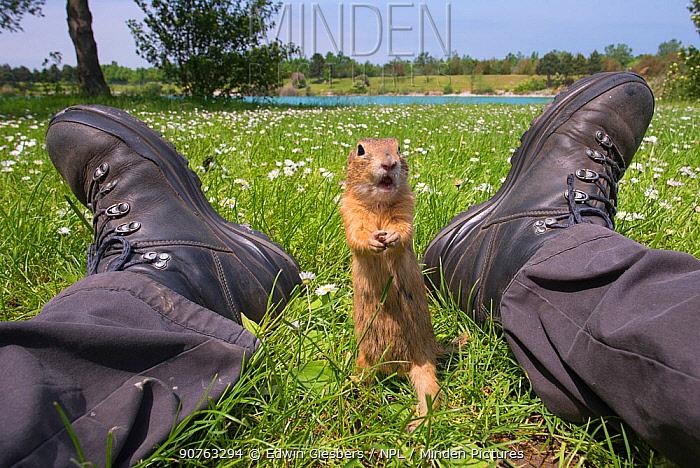 European ground squirrel / Souslik (Spermophilus citellus) approaching photographer's feet,  Gerasdorf, Austria. April.