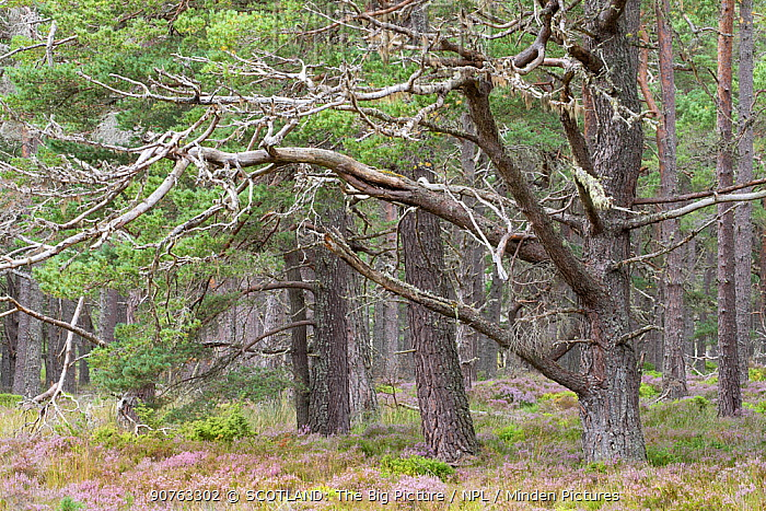 Scots pine (Pinus sylvestris) trees in Abernethy Forest, Abernethy National Nature Reserve, Cairngorms National Park, Scotland, UK, August