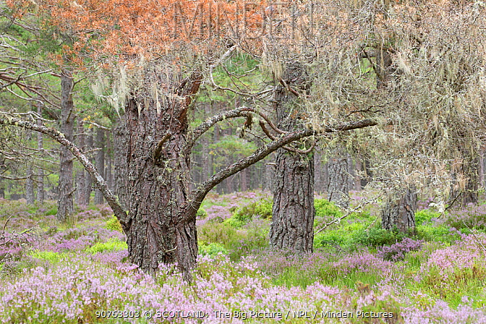 Scots pine (Pinus sylvestris) trees surrounded by flowering heather in Abernethy Forest, Abernethy National Nature Reserve, Cairngorms National Park, Scotland, UK, August