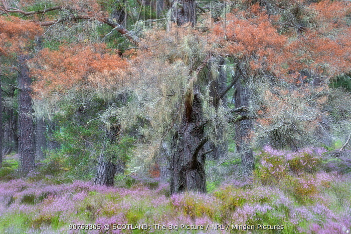 Arty shot of Scots pine (Pinus sylvestris) trees surrounded by flowering heather in Abernethy Forest, Abernethy National Nature Reserve, Cairngorms National Park, Scotland, UK, August