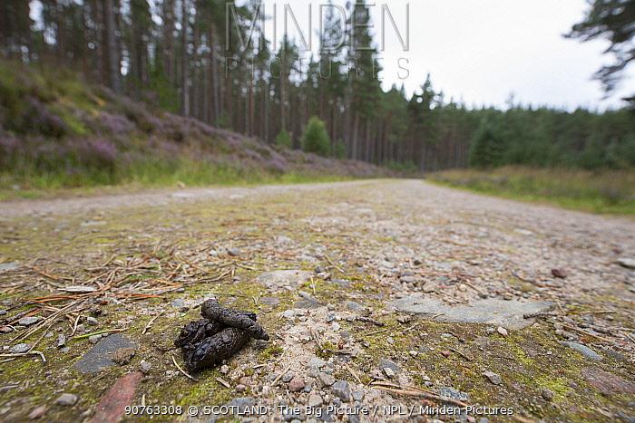 Pine marten scat on vehicle track, Cairngorms National Park, Scotland, UK, June