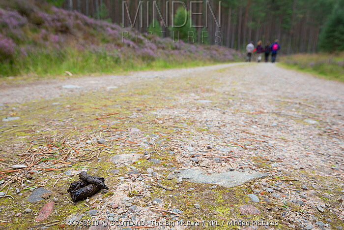Pine marten scat on vehicle track with four hikers in distance, Cairngorms National Park, Scotland, UK, June