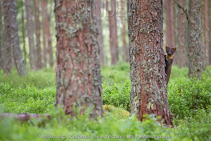 Pine marten (Martes martes) exploring pine woodland, Glenfeshie, Cairngorms National Park, Scotland, UK, July.