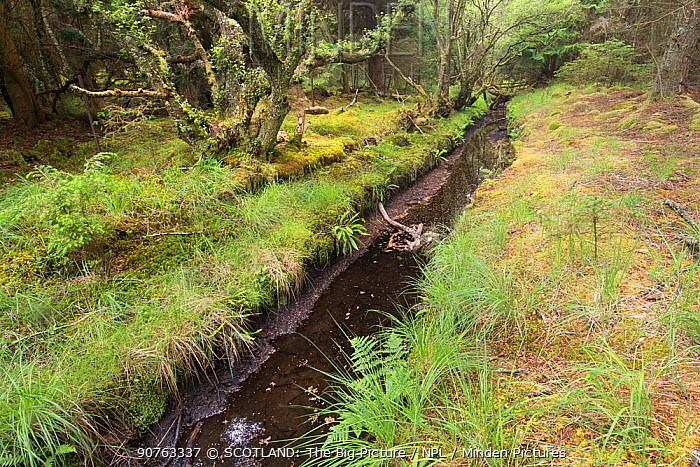 Ditch through woodland dug by Eurasian beavers (Castor fiber), Knapdale Forest, Argyll, Scotland, UK, June 2016.
