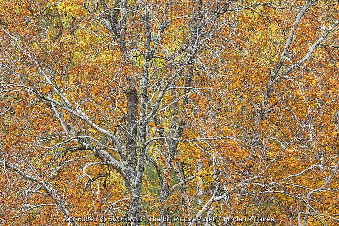 Mixed woodland in autumn, Rogie Falls, Ross-shire, Scotland, UK, October.