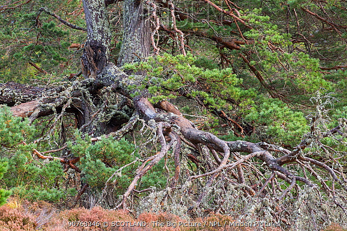 Ancient Scots pine (Pinus sylvestris) showing complex branch systems, Abernethy Forest, Abernethy National Nature Reserve, Cairngorms National Park, Scotland, UK, October.