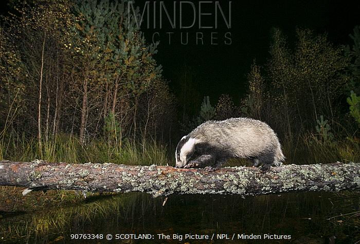 Badger (Meles meles) crossing over burn on fallen tree, Glenfeshie, Cairngorms National Park, Scotland, UK, October.