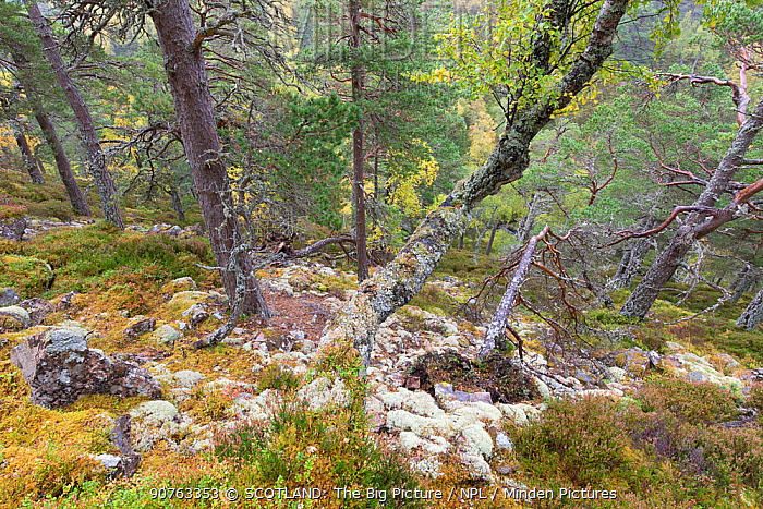 Mixed native woodland in autumn, Allt Ruadh, Glenfeshie, Cairngorms National Park, Scotland, UK, October.