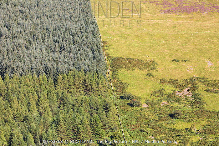 Intensified land use with non-native conifer plantation fenced off from sheep pasture, Carrifran, Moffat, Dumfries and Galloway, Scotland, UK, June