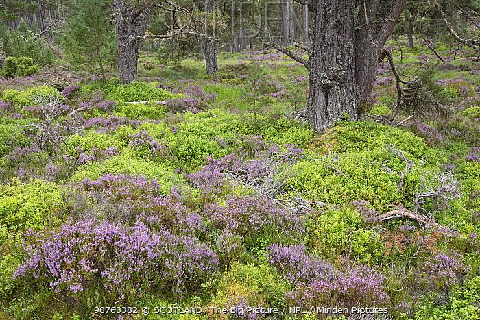 Heather and Blaeberry / Bilberry (Vaccinium myrtillus) ground flora in ancient pine woodland, Abernethy National Nature Reserve, Cairngorms National Park, Scotland, UK, June