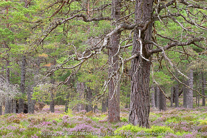 Scots pine (Pinus sylvestris) forest, Abernethy National Nature Reserve, Cairngorms National Park, Scotland, UK, August