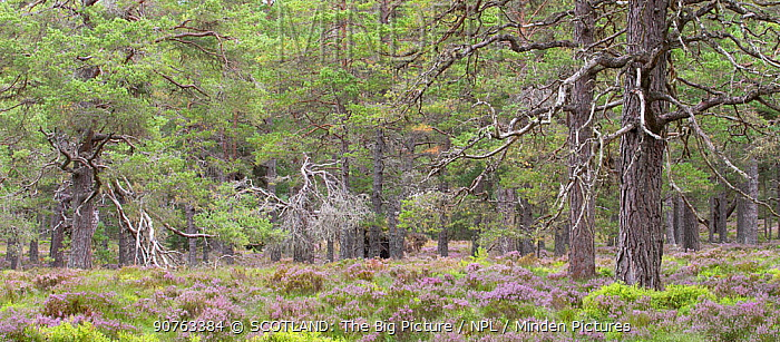 Scots pine (Pinus sylvestris) forest in late summer, Abernethy National Nature Reserve, Cairngorms National Park, Scotland, UK, August