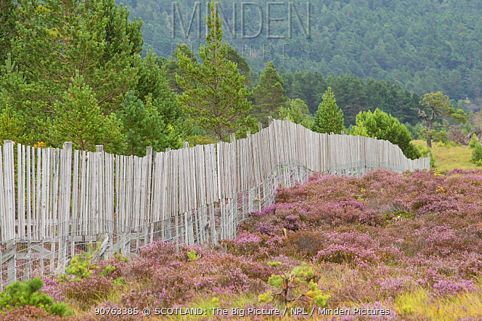 Deer fence protecting Scots pine (Pinus sylvestris) woodland from browsing, Abernethy Forest, Abernethy National Nature Reserve, Cairngorms National Park, Scotland, UK, June