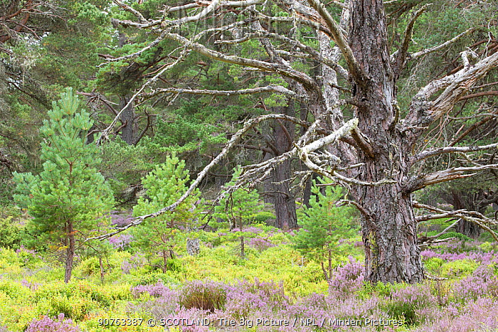 Scots pine (Pinus sylvestris) saplings and mature tree in Abernethy Forest, Abernethy National Nature Reserve, Cairngorms National Park, Scotland, UK, June