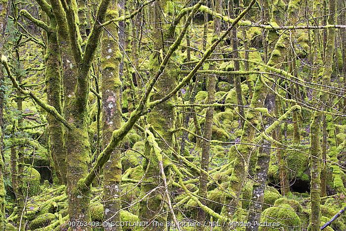 Mixed woodland draped in mosses and lichens, Lochaline, Morvern, Lochaber, Scotland, UK, March