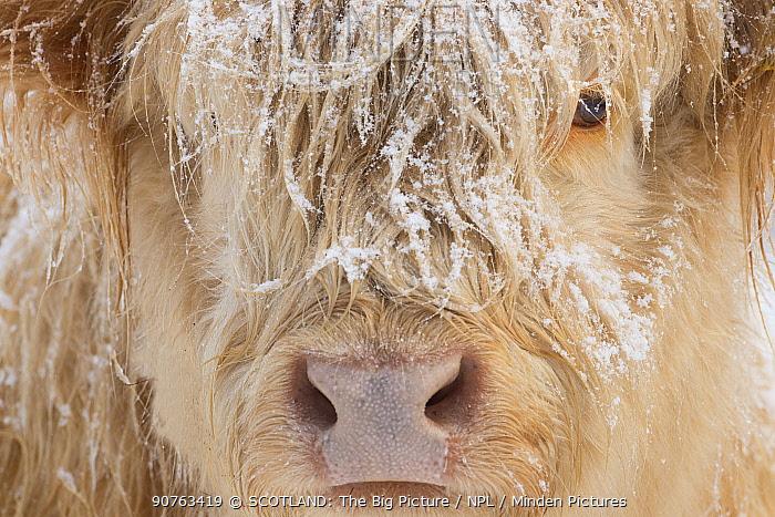 Highland cow, close up of head, Glenfeshie, Cairngorms National Park, Scotland, UK, January.