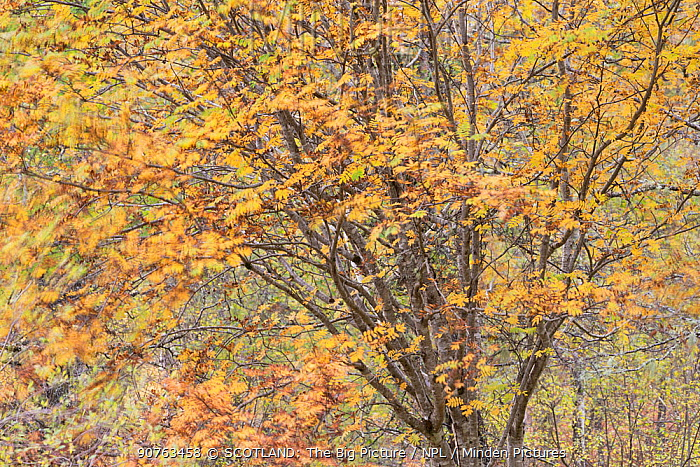 Rowan (Sorbus aucuparia) tree blowing in wind, Glen Affric, Ross and Cromarty, Scotland, UK, October.