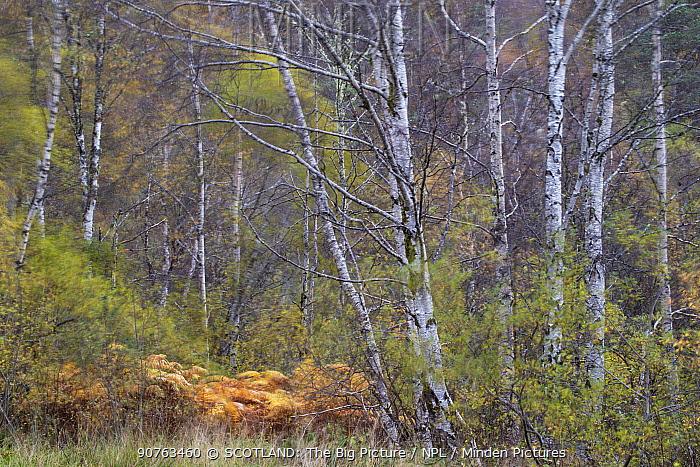 Birch woodland, Glen Affric National Nature Reserve, South Ross, Scotland, UK, October.
