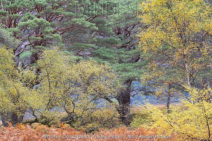 Mixed Silver birch (Betula pendula) and Scots pine (Pinus sylvestris) woodland, Beinn Eighe National Nature Reserve, Wester Ross, Scotland, October.