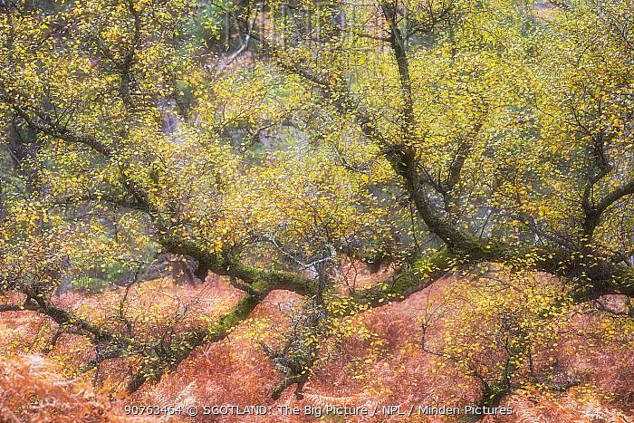 Silver birch (Betula pendula) in autumn, Beinn Eighe National Nature Reserve, Wester Ross, Scotland, UK, October.