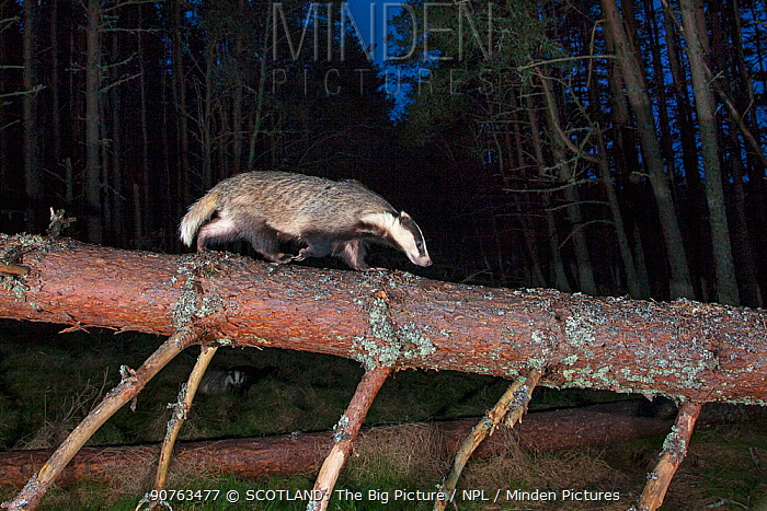 European badger (Meles Meles) walking along fallen tree trunk at night, Cairngorms National Park, Scotland, UK, April