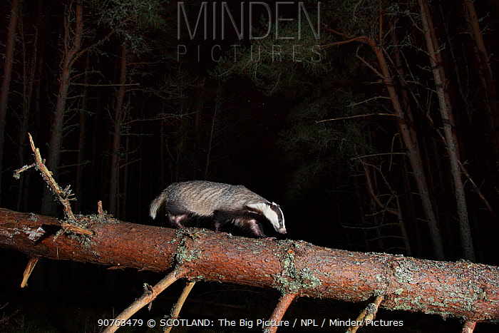 European badger (Meles meles) walking along fallen tree trunk at night, Cairngorms National Park, Scotland, UK, June