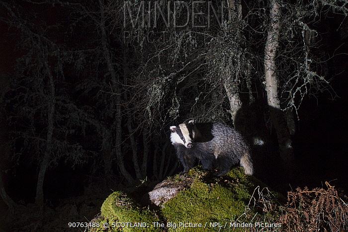 Eurasian badger (Meles meles) foraging in woodland, Cairngorms National Park, Scotland, UK, June