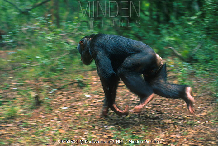 Male Chimpanzee running, Kenya