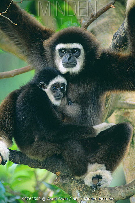 White handed gibbon (Hylobates lar) with young, captive
