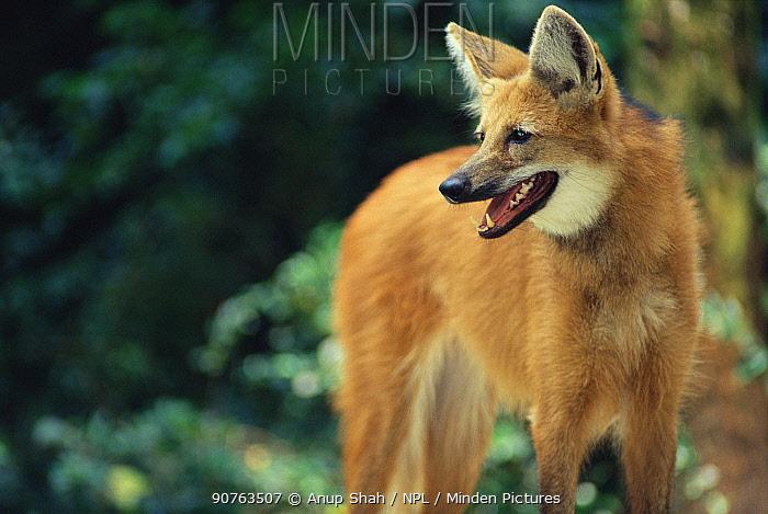 Maned wolf portrait {Chrysocyon brachyurus} captive
