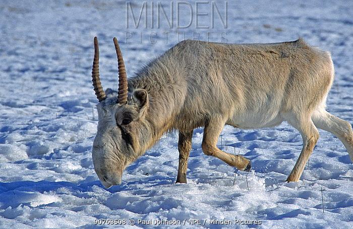 Saiga antelope male {Saiga tatarica} C Czech Republic native to Kazakhstan steppe,