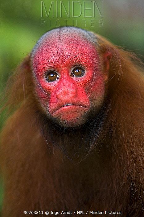 Red bald headed uakari {Cacajao calvus ucayalii} Rio Yavari, Amazonia, Peru FOR SALE IN UK ONLY