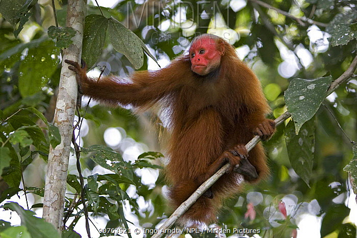 Red bald headed uakari {Cacajao calvus ucayalii} wild, in tree canopy, Rio Yavari, Amazonia, Peru FOR SALE IN UK ONLY