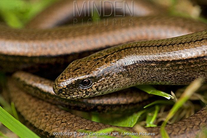 Slow worm {Anguis fragilis} England