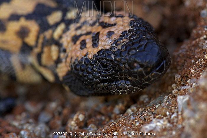 Gila monster (Heloderma suspectum) Sonoran desert, Arizona, USA