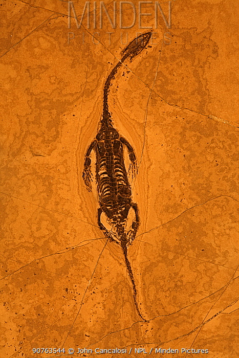 Fossil Keichousaurus (Keichousaurus hui, family Pachypluerosauridae), a lizard-like marine reptile from the Triassic Period. China