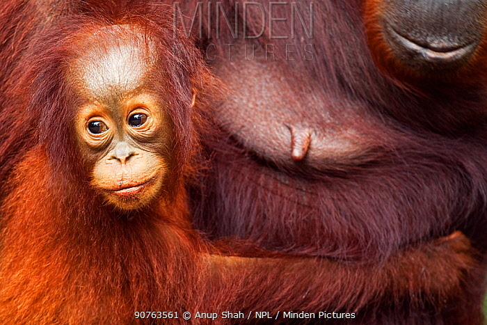 Bornean Orangutan (Pongo pygmaeus wurmbii) female baby 'Gita' aged 2 years holding on to her mother 'Gara'. Camp Leakey, Tanjung Puting National Park, Central Kalimantan, Borneo, Indonesia. June 2010. Rehabilitated and released (or descended from) between 1971 and 1995.