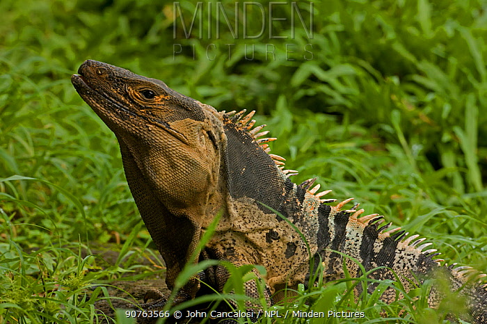 Spiny-tailed / Common Iguana (Ctenosaura similis) in profile showing crest. Santa Rosa National park tropical dry forest, Costa Rica.