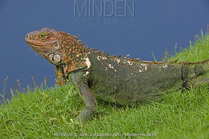 Green / Common Iguana (Iguana iguana) in profile. Costa Rican tropical rainforest.