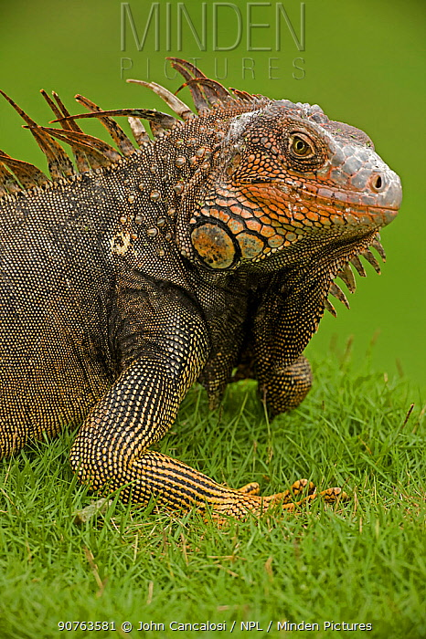 Green / Common Iguana (Iguana iguana) on grass. Costa Rican tropical rainforest.