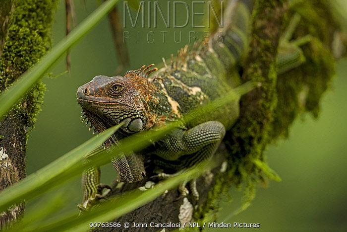 Green / Common Iguana (Iguana iguana) on branch. Costa Rican tropical rainforest.