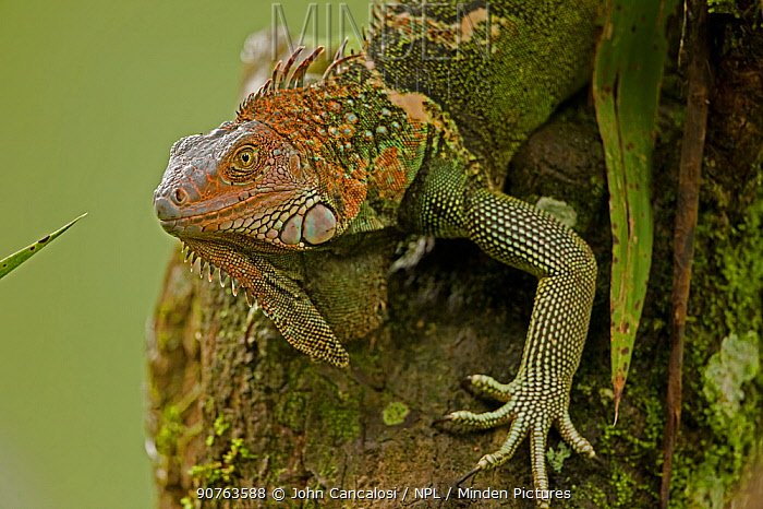 Green / Common Iguana (Iguana iguana) portrait. Costa Rican tropical rainforest.