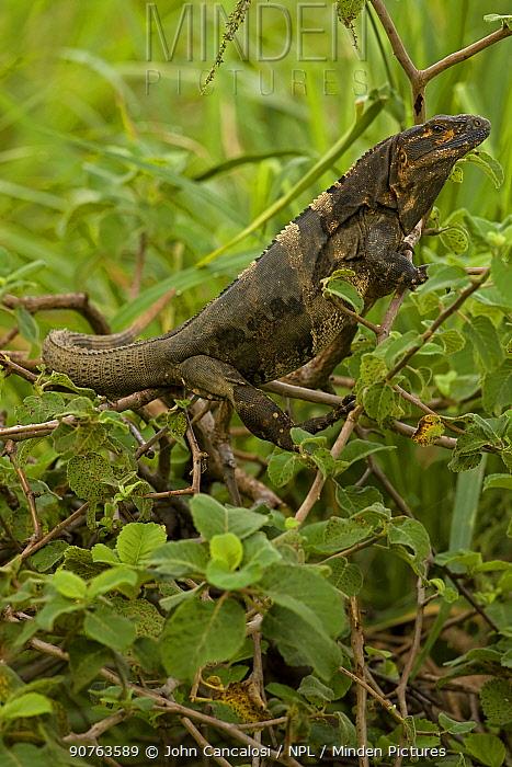 Spiny-tailed Iguana (Ctenosaura similis). Santa Rosa National Park tropical dry forest, Costa Rica.