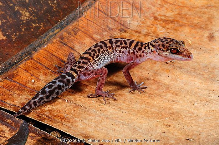 Bawangling cave gecko (Goniurosaurus bawanglingensis) male standing on fallen banana tree leaf, Bawangling National Nature Reserve, Hainan Island, China.