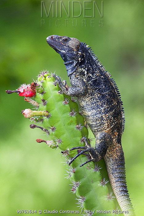 Western / Mexican Spiny-tailed Iguana (Ctenosaura pectinata) on flowering cactus. Maria Madre Island, Islas Marias Biosphere Reserve, Sea of Cortez (Gulf of California), Mexico, September.