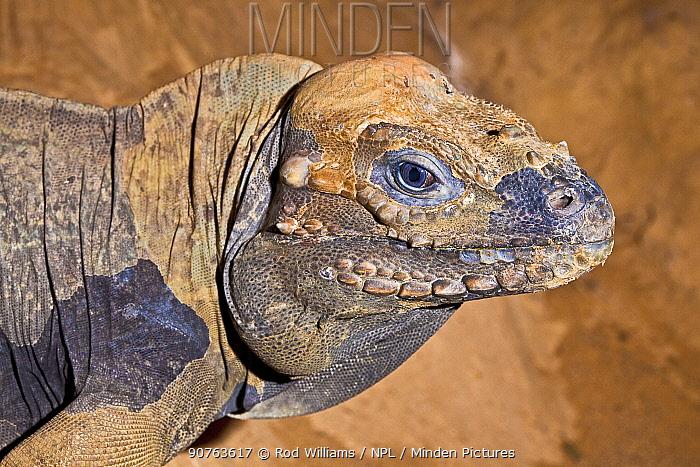 Rhinoceros iguana (Cyclura cornuta) head portrait, Dominican Republic, Haiti, vulnerable species. Captive.